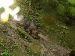 Takin (eMammal) Tags: takin wolong budorcastaxicolor geo:lon=30873 taxonomy:common=takin sequence:index=1 sequence:length=1 otherhoovedmammals taxonomy:group=otherhoovedmammals siwild:study=wolongcameratrapsurvey siwild:studyId=wolongbaitedsets geo:locality=china siwild:plot=wolong siwild:location=lwwl08811a siwild:camDeploy=chinadeploy194 geo:lat=103173 siwild:date=200810030825000 siwild:trigger=wwl08811a01246 siwild:imageid=wwl08811a01246 sequence:id=wwl08811a01246 file:name=wwl08811a01246jpg taxonomy:species=budorcastaxicolor sequence:key=1 siwild:region=china BR:batch=sla0620101119044543 siwild:species=12 file:path=dchinachinacameraimagedigitalafter2008wolongnaturereservewwl08811a01wwl08811a01246jpg