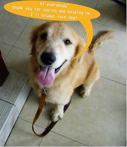 「支援與祝福」從花蓮收容所救出的黃金獵犬弟弟~即將赴美~需要您的支援與祝福~也需要12月份飛LA護犬大使~20101119