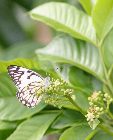 Un-id Butterfly