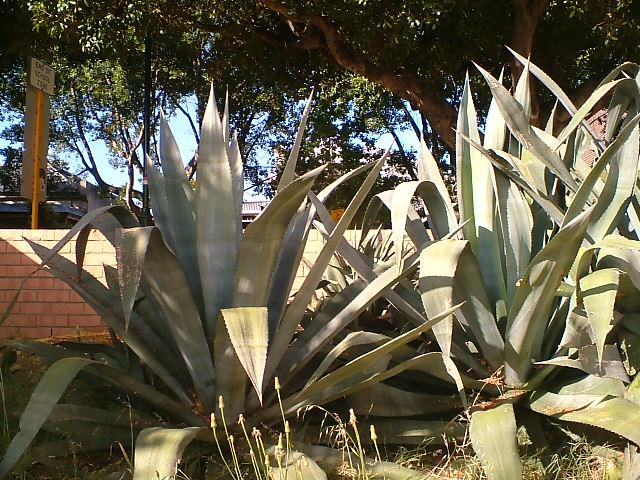 Last Years Cactus
