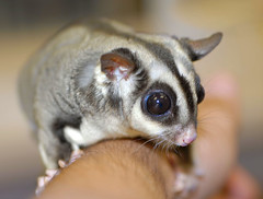 Sugar Glider (fotoJENica) Tags: naturaleza nature animal rodent eyes nikon small marsupial sugarglider smallanimal marsupio abigfave