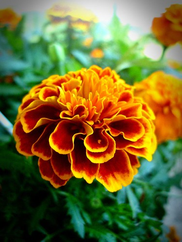 lomo marigold