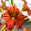 BT604 Solanales (listentoreason) Tags: plant flower nature closeup canon unitedstates pennsylvania favorites places longwoodgardens dicot score50 ef28135mmf3556isusm solanales