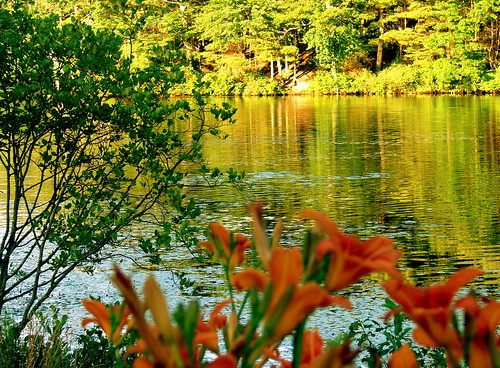 TIGER LILIES ALONG THE LAKE