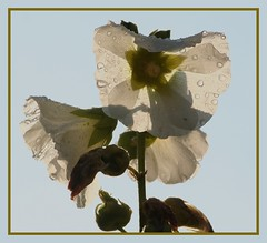 22jul07: white hollyhock.......... (guus timpers) Tags: white rain raindrops shield hollyhock soe wir excellence almelo regendruppels stokroos supershot of shieldofexcellence suprshot excellenceinflorialphotography