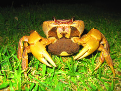 Big Mama Crab (Give-on) Tags: ocean beach japan island crab jungle okinawa akajima naturesfinest aplusphoto superbmasterpiece bfgreatesthits lpanimals