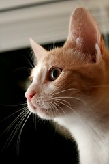 Frankie's Chin (Elkay 724) Tags: pet cats pets cute beautiful cat kitten feline tabby cream kitty gato kitties buff meow creamsicle bufftabby aplusphoto buffcoloredcats