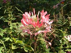 (nate'sgirl) Tags: pink flower july mygarden cleome spiderflower fujifinepixa303