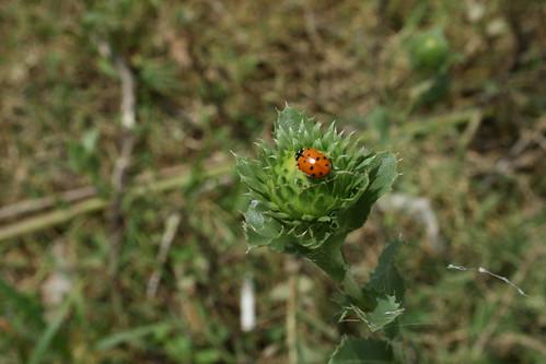 Hefner Ladybug, 8/2007