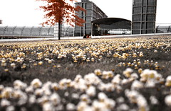 sitting on a meadow of popcorn flowers, under a maple tree with red maple apples ;) - by Yves.