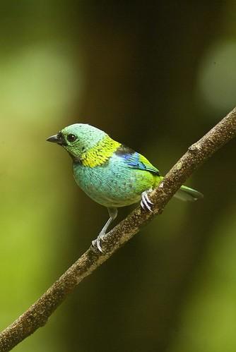 Sara-sete-cores / Green-headed Tanager (Tangara seledon)