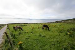 donkeys at dunbeg fort