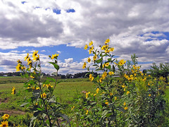 Amish Summer Field Wild and Free (CountryDreaming) Tags: flowers ohio sky field clouds amish sunflowers fields wildflowers amishcountry naturesfinest