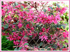 Loropetalum chinense var. rubrum 'Burgundy' or 'Sizzling Pink' (Chinese Witch Hazel)