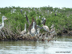 Pelicans at Cat Island