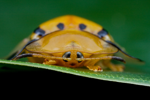 Face to face with a tortoise beetle : D IMG_4839 copy