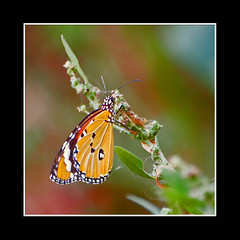 All Praises Are For God Who Made Such Beautiful Creatures (AHMED...) Tags: pakistan macro green leave nature closeup butterfly ilovenature branch ahmed sind sindh muhammad mehrabpur aplusphoto