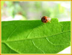A tiny weeny Harmonia axyridis (ladybird) on hibiscus leaf, shot May 31, 2007