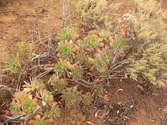 Pink-flowered aeonium (Marianne Perdomo) Tags: grancanaria geotagged flora canarias canary canaryislands canaria aeonium santabrígida laconcepción verol macaronesian geo:tool=gmif geo:lat=28019101 geo:lon=15497434 safe200