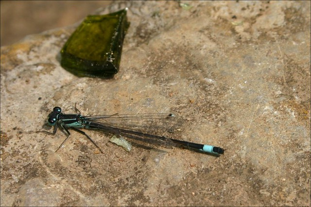 Blue-tailed Damselfly and Broken Glass