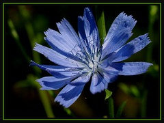 Pretty in blue (Kirsten M Lentoft) Tags: blue flower topc25 closeup garden chicory soe naturesfinest masterphotos anawesomeshot momse2600 ysplix kirstenmlentoft