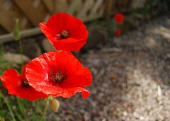 Poppies with new camera