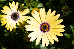 BT577 Daisy (listentoreason) Tags: plant flower color nature yellow closeup canon unitedstates pennsylvania favorites places daisy longwoodgardens dicot asterales ef28135mmf3556isusm score40