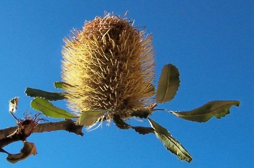 Banksia flower cone