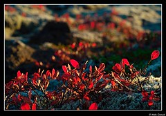blueberries (Niels Giroud) Tags: autumn sunset red nature colors landscape iceland moss nikon d200 thingvellir