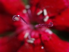 Cuernitos (_Zahira_) Tags: red flower color macro closeup lafotodelasemana rojo flor olympus e500 uro 100vistas 35mmmacro abigfave p1f1 ltytrx5 ltytr2 ltytr1 top20red