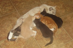 072007 Kittens last time all together 6