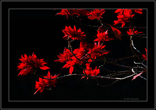 Poinsettia Flowers by Barbara J H.