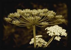 Didn't just walk by (Kirsten M Lentoft) Tags: white flower nature sepia naturesfinest supershot mywinners momse2600 flickrphotoaward kirstenmlentoft