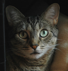 Sweet Macie (shlee_photo) Tags: cats cat kitty kitties nico kittycats macie bestofcats boc0807 wheeloffun