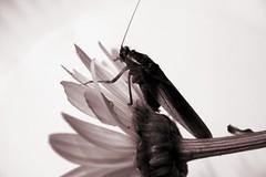 Katydid (kimmycat) Tags: insect katydid