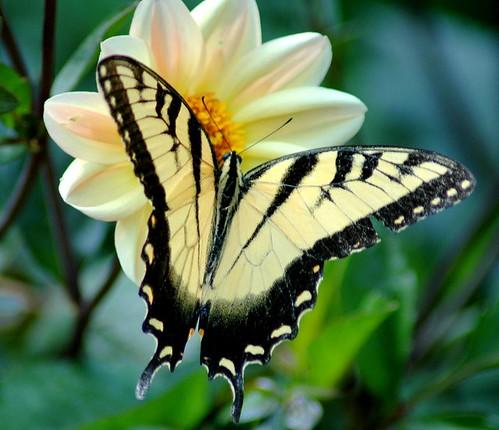 butterfly by Davidlind