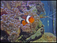 Clown Fish (DeFerrol) Tags: fish pez animal aquarium clown planet payaso animalplanet acuario