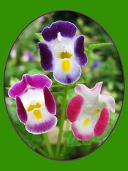 Collage of Torenia