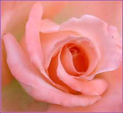 Rose for Irene (Bluebird0927 (ON/OFF)) Tags: pink flowers roses nature moms irene shiningstar irresistable naturesfinest masterphotos top20pink citrit searchandreward aflowershowcase henryfriends popsgallery macromarvels mykindofpicturegallery everydayissunday perfectphotographer madalenaherflags