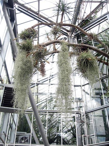 tillandsias hortus botanicus