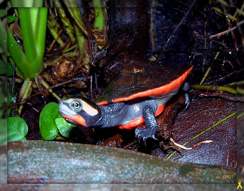 Red Bellied Short Necked Turtle 1097 Red Bellied Short Necked
