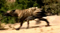 11 Hyaenodon runs
