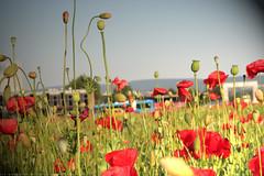 documenta 12 | Sanja Ivekovic / Poppy Field (Mohnblumenfeld) | 2007 | Friedrichsplatz