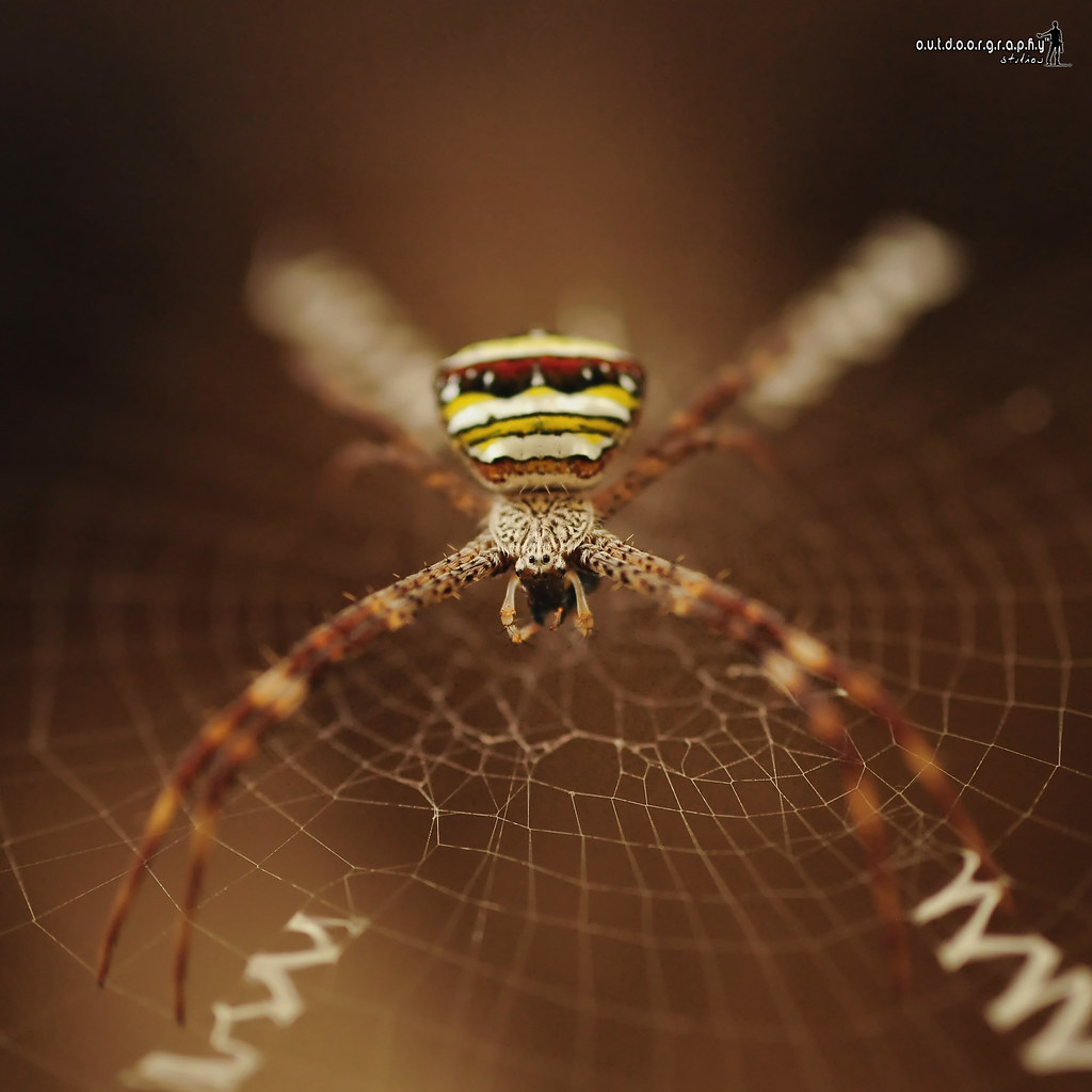 Argiope versicolor | Panorama Camp (by Sir Mart Outdoorgraphy™)