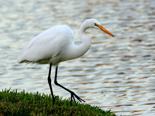 Great Egret 20101115
