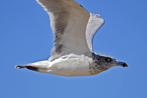 flying gull's eyes 2