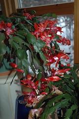 Julekaktus i blomst (flutnace) Tags: christmascactus zygocactus julekaktus