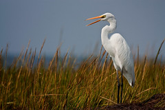 Backyard Egret - (MurrayH77) Tags: bird nc wildlife hatteras egret frisco obx 2010 wow1 wow2 wow3 wow4 wow5 magicofnature peregrino27life