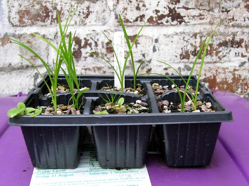 Day lily seedlings
