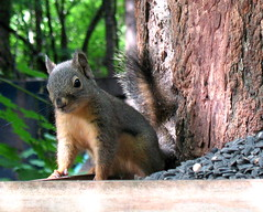 CH CH CH!  GET away from MY seeds! (Starlisa) Tags: animal forest washington cabin woods squirrel searchthebest getaway critter explore troutlake socute naturesfinest supershot beautifulcapture mywinners img2032 impressedbeauty unature starlisa firsttheearth flickrelite mrattitude mysunflowers myseeds